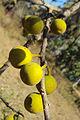 Ficus exasperata 05.JPG