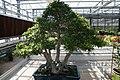 Ficus neriifolia 6zz.jpg