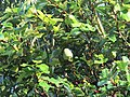 Ficus pumila - Climbing fig at Thenmala 2014 (3).jpg