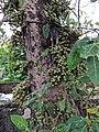 Ficus sp 8.jpg