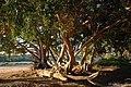 Ficus sycomorus08.jpg