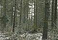 Fir Clogging Pine Regen.jpg