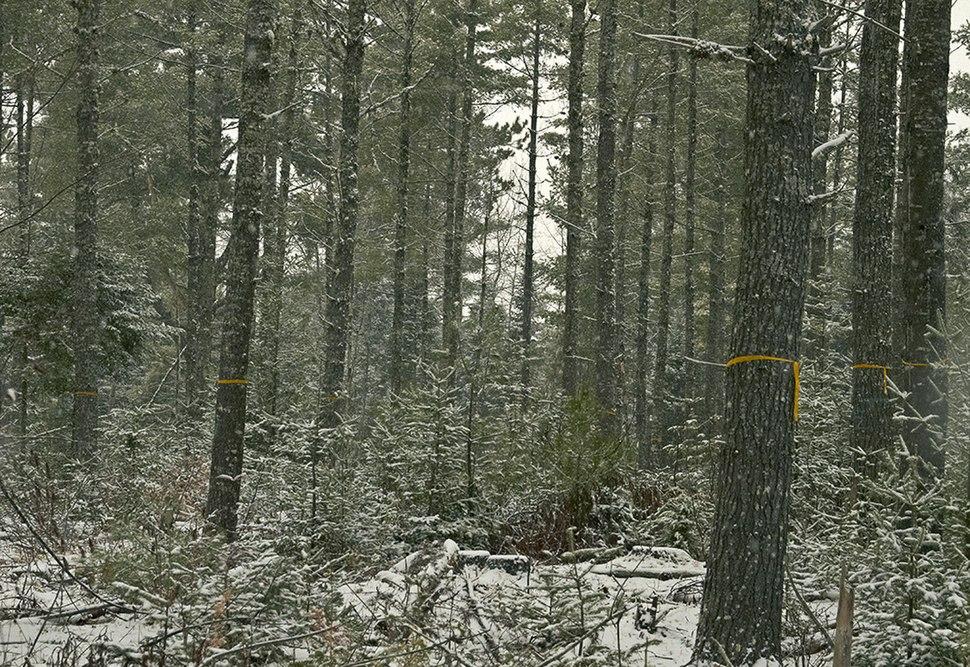 Fir Clogging Pine Regen