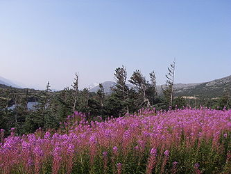 Fireweed on the Klondike Highway, British Columbia 4.jpg