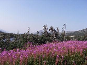 Fireweed on the Klondike Highway, British Columbia 4.jpg