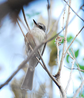 Flammulated Flycatcher.jpg