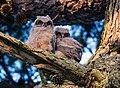 Fledgling Owls Watching Their First Sunrise (210838305).jpeg
