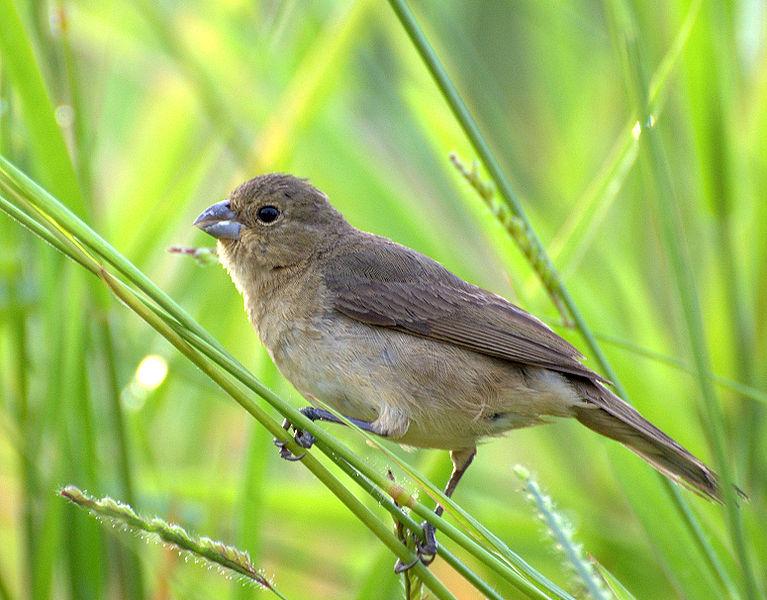 Ficheiro:Flickr - Dario Sanches - COLEIRINHO (Sporophila caerulescens) (6).jpg