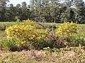 Flores amarelas. - panoramio.jpg