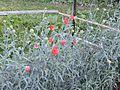 Floriculture in village Mahog ,Chail, Himachal Pradesh,India 04.jpg