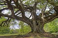 Florida Oak - panoramio.jpg