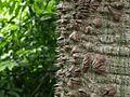 Floss Silk Tree Bark (5156252872).jpg
