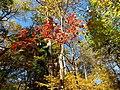 Flowering Dogwood (30873520665).jpg