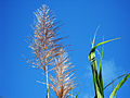 Flowering Sugarcane (4682277934).jpg