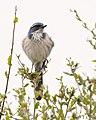 Fluffy California Scrub Jay (50924696322).jpg