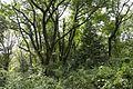 Forest in Mt.Hokyo 05.jpg