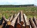 Forestry, Spadeadam - geograph.org.uk - 825852.jpg