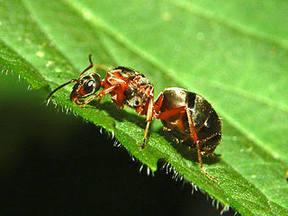 <i>Formica pratensis</i> species of insect