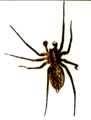 Fred C - Spider.png