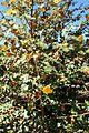 Fremontodendron californicum kz8.jpg