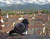 From Torre Guinigi. Lucca, Italy.jpg