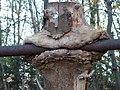 Froschmaulähnliche Holzüberwallung.jpg