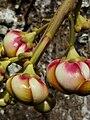 Fruta o flor.jpg