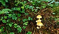 Fungus, Moneyscalp Wood near Bryansford (2) - geograph.org.uk - 915430.jpg