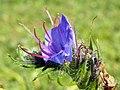 GOC Bengeo to Woodhall Park 049 Viper's-bugloss (Echium vulgare) (8102453307).jpg