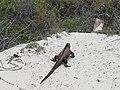 Galápagos Iguana Marina.jpg