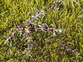 <i>Galium antarcticum</i> species of plant