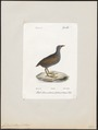 Gallinula chloropus - 1842-1848 - Print - Iconographia Zoologica - Special Collections University of Amsterdam - UBA01 IZ17500197.tif