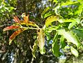 Galpinia transvaalica, vars loof, b, Jan Celliers Park.jpg