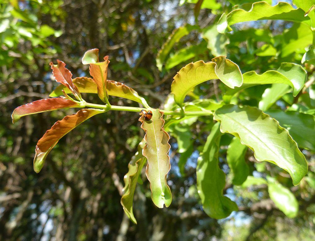 File:Galpinia transvaalica, vars loof, b, Jan Celliers Park.jpg ...