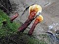 Ganoderma sp.jpg