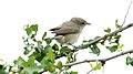 Garden Warbler (Sylvia borin) (31633947647).jpg