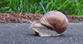 Garden snail moving down the Vennbahn in disputed territory (DSCF5879).png