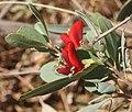 Gastrolobium grandiflorum flower.jpg