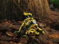 Gelbgebänderter Baumsteiger Dendrobates leucomelas.jpg