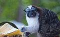 Geoffroy's Tamarin (Saguinus geoffroyi) 2