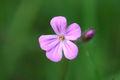 Geranium robertianum-01 (xndr).jpg
