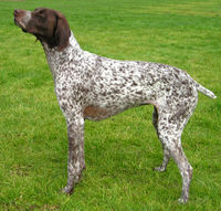 GermanShorthPtr wb.jpg