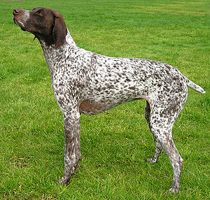 German Shorthaired Pointer - Image: German Shorth Ptr wb