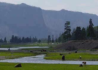 Greater Yellowstone Ecosystem - Bison grazing near Gibbon River at Madison in Yellowstone National Park.