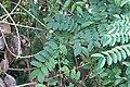 Gila(Caesalpinia Bonducella).jpg