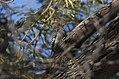 Gila woodpecker II papago park (14104794830).jpg