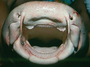 Nurse shark - Image: Ginglymostoma cirratum head