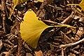 Ginkgo Tree Ginkgo biloba Leaf Left 3008px.jpg