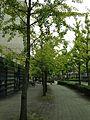 Ginkgo trees near Koryo Elementary School in Fukuoka, Fukuoka.jpg