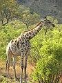 Giraffe (5987660846).jpg
